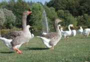MV park ducks